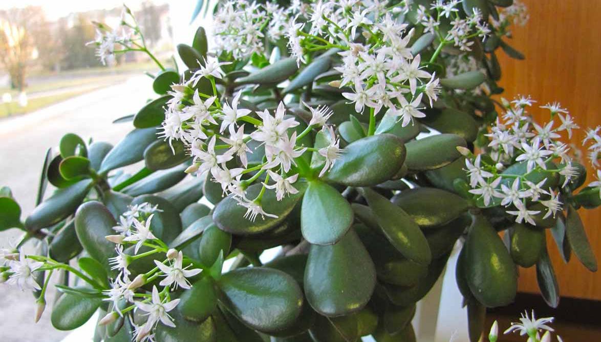 5 красивых и неприхотливых цветков для дома